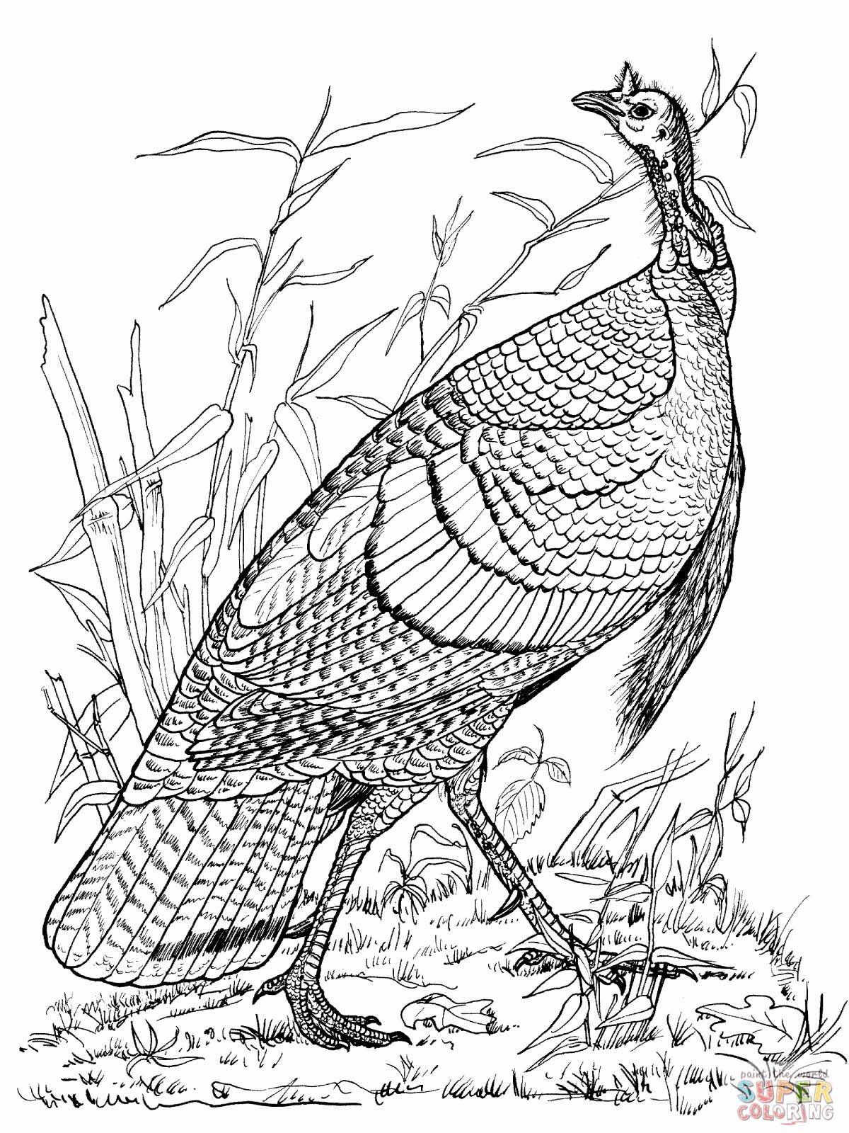 Wild Turkey Coloring Page - Audubon | Homeschooling