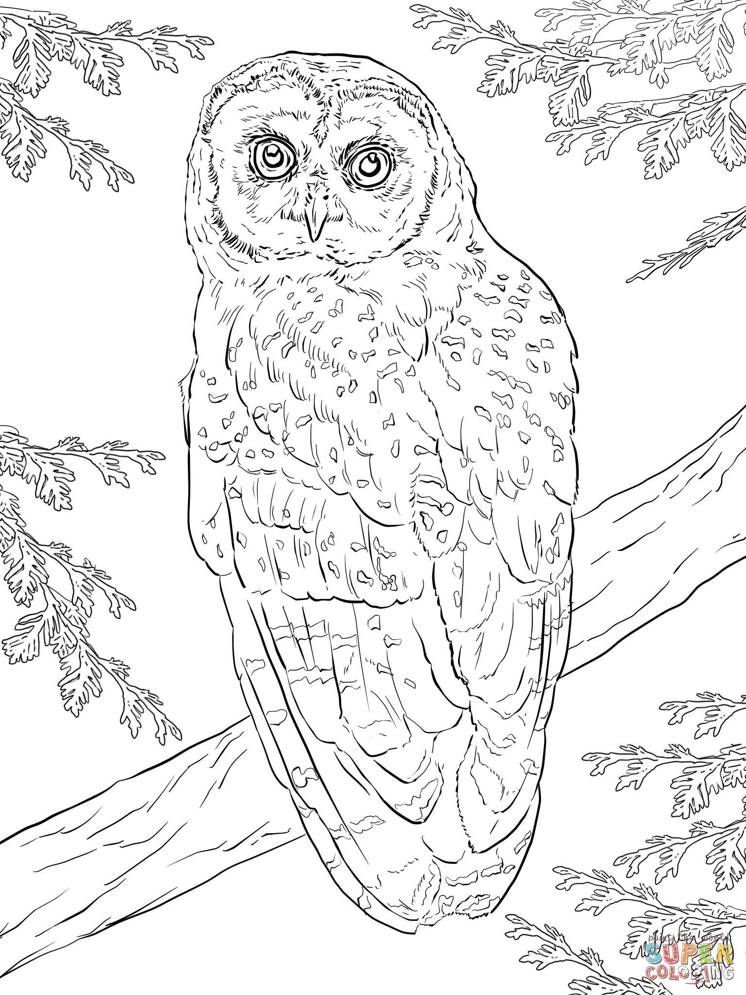 Northern Spotted Owl Coloring Page | Free Printable Coloring