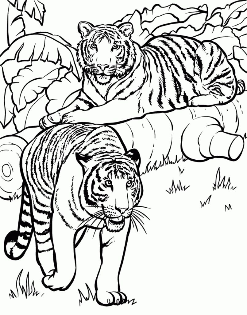 Realistic And Detailed Coloring Page Of Tiger For Older Kids